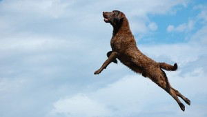 leaping dog